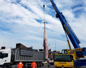 Noticias Cargo Flet Blasant Mar 18   ¡Elevan una ballena con nuestras eslingas de cadena de acero!