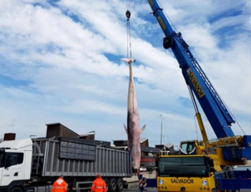 ¡Elevan una ballena con nuestras eslingas de cadena de acero!